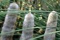 Cleistocactus hyalacanthus 0zz.jpg
