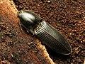 Click Beetle (34565394785).jpg