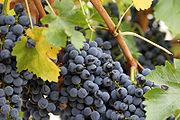 الفواكه 180px-Close_up_grapes