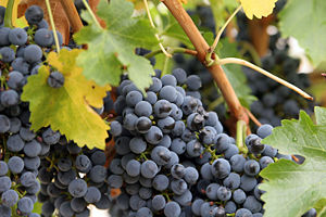 Antioxidant effect of polyphenols and natural phenols - Grapes contain certain polyphenol antioxidant compounds.