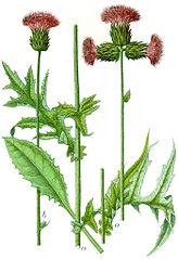 Pichliač potočný (Cirsium rivulare)