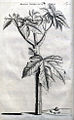 Cnidoscolus urens05.jpg