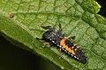 Coccinelidae larvae Campinas.JPG
