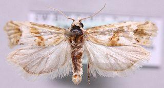 <i>Cochylimorpha</i> Genus of tortrix moths