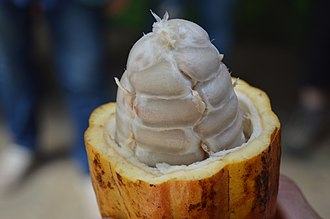 Cocoa bean - Cocoa beans in a freshly cut cocoa pod