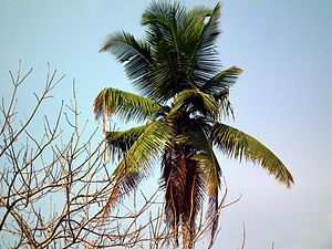 Coconut production in Kerala - Image: Coconut tree from Kerala