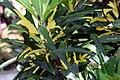 Codiaeum variegatum 23zz.jpg