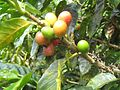 Coffee cherries of varying ripeness, on a tree in Colombia (by Brian Smith).jpg
