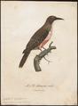 Colaptes olivaceus - 1796-1808 - Print - Iconographia Zoologica - Special Collections University of Amsterdam - UBA01 IZ18700233.tif