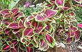 Coleus (Plectranthus scutellarioides) 3.jpg