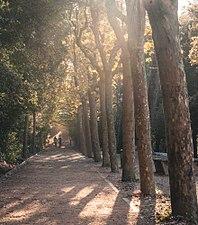 Collserola trees.jpg