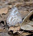 Common Caerulean Jamides celeno DSF by Dr. Raju Kasambe DSC 3266 (7).jpg