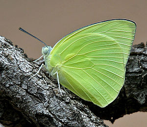 Catopsilia pomona - Male