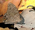 Common Evening Brown I Picture 344.jpg