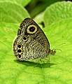 Common Four-ring Ypthima huebneri by Dr. Raju Kasambe DSCN7802 (11).jpg