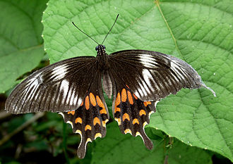 "Mutationism - Papilio polytes has 3 forms with differing wing patterns, here the ""Romulus"" morph. Reginald Punnett argued that this polymorphism demonstrated discontinuous evolution. However, Ronald Fisher showed that this could have arisen by small changes in additional modifier genes."