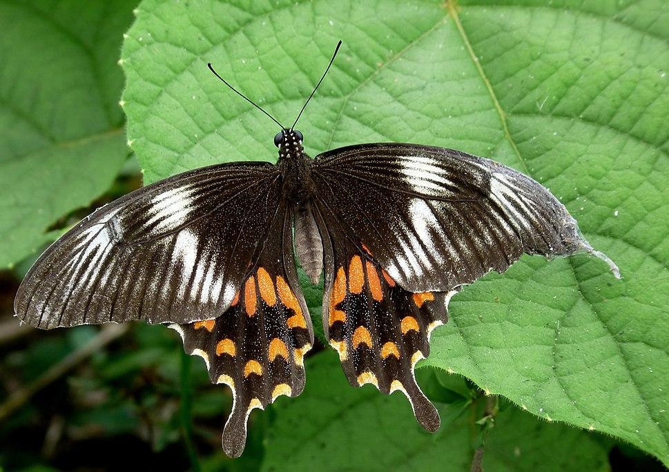 Common Mormon Papilio polytes Female Form Romulus by kadavoor