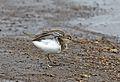 Common Sandpiper, Actitis hypoleucos, Chobe National Park, Botswana (31992569070).jpg