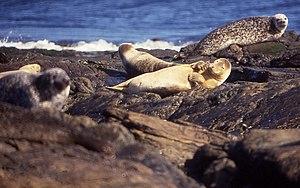 Common Seals (Phoca vitulina) on Strom Ness, N...