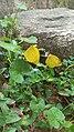 Common grass yellow butterfly 2.jpg