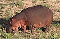 Common hippopotamus, Hippopotamus amphibius, at Letaba, Kruger National Park, South Africa (20193776956).jpg