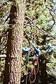 Cone Tree Climbing (4582145813).jpg