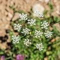 Conopodium majus in Chablais (1).jpg