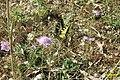 Continental swallowtail (Ski) (35042999420).jpg