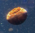 Contracted Phase Cannonball Jellyfish.png