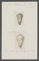 Conus lithoglyphus - - Print - Iconographia Zoologica - Special Collections University of Amsterdam - UBAINV0274 087 01 0007.tif