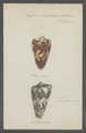 Conus vexillum - - Print - Iconographia Zoologica - Special Collections University of Amsterdam - UBAINV0274 086 08 0006.tif