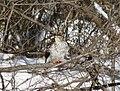 Cooper's hawk feeding on a blue jay 16.jpg