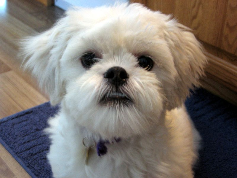 Lhasa Apso dog puppy