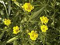 Coreopsis palmata — Frank Mayfield 002.jpg