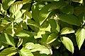 Cornus hessei Garden Glow 0zz.jpg