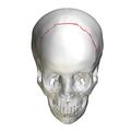Coronal suture - skull - anterior view01.png