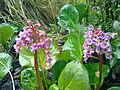 Cortaderia selloana à Grez-Doiceau 001.jpg