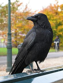 Corvus corone looking left.jpg