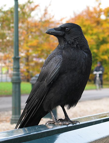 velké černé tvrdé ptáky