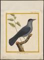 Corvus monedula - 1700-1880 - Print - Iconographia Zoologica - Special Collections University of Amsterdam - UBA01 IZ15700255.tif