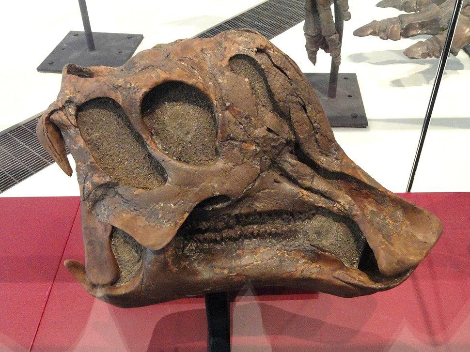 Corythosaurus cauarius, juvenile skull and jaws, Dinosaur Provincial Park, Alberta, Canada, Late Cretaceous - Royal Ontario Museum - DSC00025