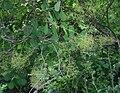 Cotinus coggygria 1.jpg