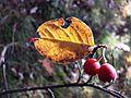 Cotoneaster tomentosus sl4.jpg