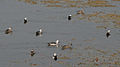 Cotton Pgymy Geese (Nettapus coromandelianus) W IMG 6775.jpg