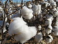 Cotton field kv02.jpg