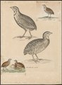 Coturnix coromandelica - 1700-1880 - Print - Iconographia Zoologica - Special Collections University of Amsterdam - UBA01 IZ17100123.tif