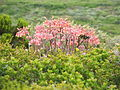 Cotyledon orbiculata - pigs ear - Cape Point - South Africa 8.JPG