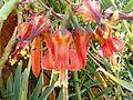 Cotyledon orbiculata var oblonga, bloeiwyse, Waterberg.jpg