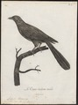 Coua caeruleus - 1796-1808 - Print - Iconographia Zoologica - Special Collections University of Amsterdam - UBA01 IZ18800127.tif