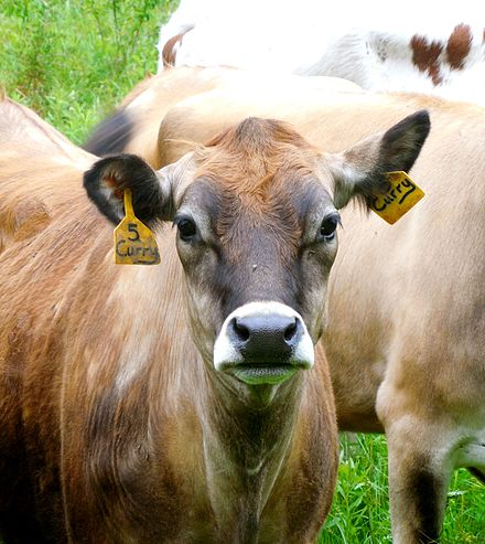 Ear postures of cows are studied as indicators of their emotional state and overall animal welfare. CowPosture 20150612.jpg